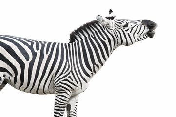 Zebra singing isolated over white background