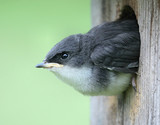 Baby Tree Swallow Looking Out of Nest poster