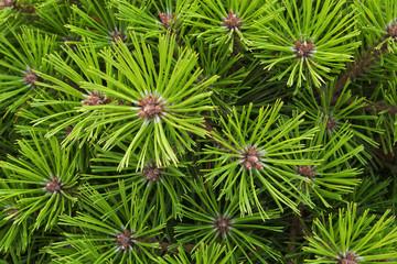 pine needles texture