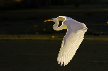Great Egret's Early Morning Flight