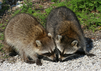 Hungry Baby Raccoons Eating in the Florida Everglades