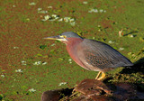 Hungry Little Green Heron Fishing in the Florida Everglades poster