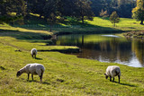 grazing sheep by a river poster