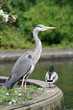 Heron and duck in a park