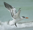 roleta: Royal Tern