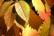 Autumnal  red leaves background