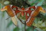 Attacus Atlas Moth poster
