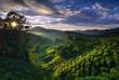 Foggy tea plantation at Dawn