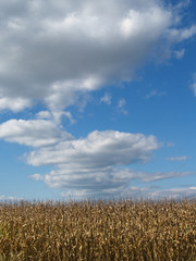 October Cornfield and Cloudscape;  Pennsylvania, USA