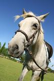 Saddled horse poster