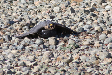 Peregrine Falcon Protecting his Dinner