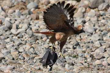Red Tail with Dinner