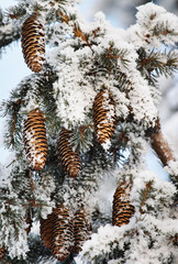 Frost covered fir tree with cones