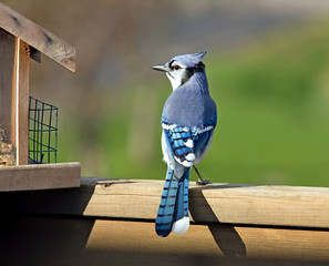 Blue Jay perched on a deck rail next to a feeder.