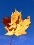 Maple Leaf Mama