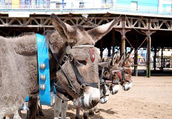 Beach Donkeys, UK