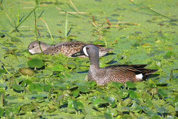 Blue Winged Teal in the Florida Everglades