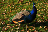 indian blue peakcock strolling around the grass poster