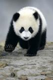 Fototapety Giant Panda