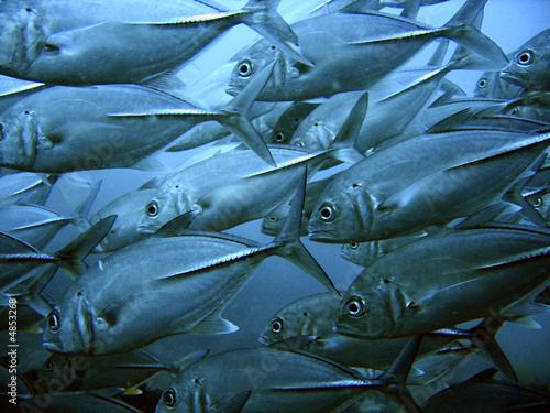 canvas print picture School of tuna