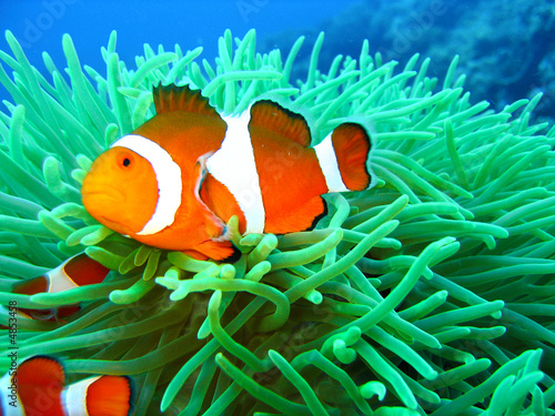 canvas print picture Tropical clown fish family