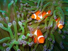 Klaun ryb tropikalnych