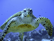 canvas print picture Photo of an endangered hawksbill sea turtle