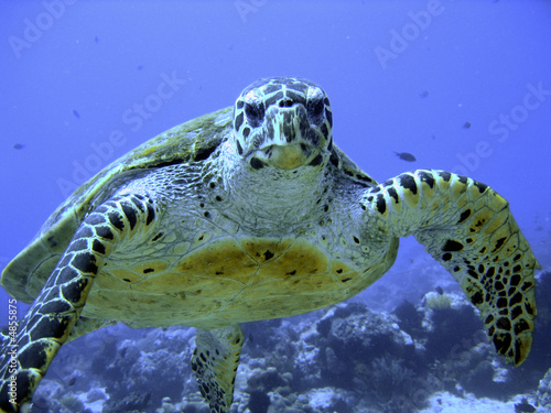 Photo of an endangered hawksbill sea turtle