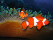 canvas print picture Tropical clown fish