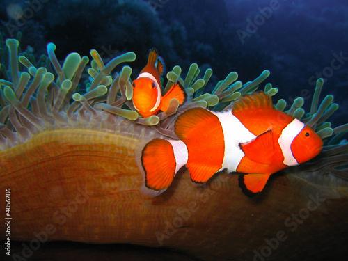 canvas print picture Tropical clown fish