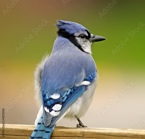 Blue Jay on deck rail.