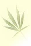 Yellow background with motive of marijuana poster