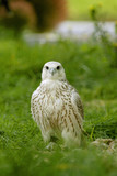 A hybrid beetween Gyrfalcon and Saker Falcon