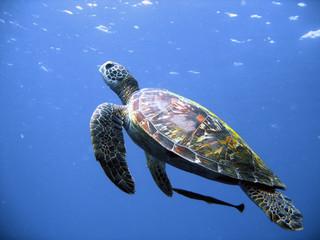 Green turtle in flight