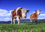 Two cow on pasture poster