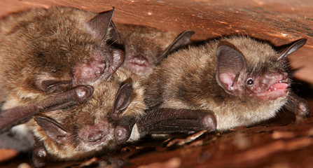 Little Brown Bats in the Rafters