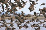 Flock of Greater White-fronted Geese poster