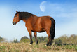 cheval bai sur la colline