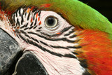 Harlequin Macaw Macro poster