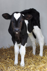 little black and white calf with heart shape on his head