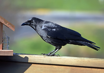 American Crow at a feeder.