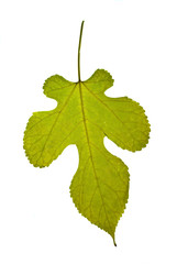 Yellow-red mulberry leaf isolated on the white background