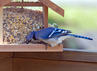 Blue Jay feeding at feeder.