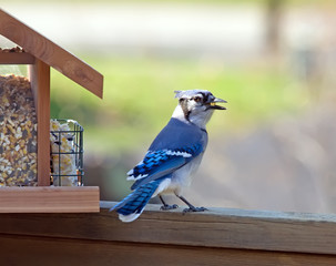 Feeding Blue Jay with corn in beak.