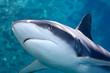 Grey whaler Shark