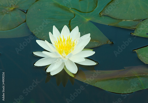 Waterlily in a pond