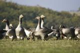 futurs foies gras - Fine Art prints