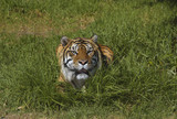 Bengal tiger in the grass 2 poster