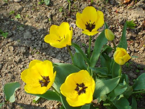Tulipani gialli pianta