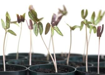 Morning Glory Seedlings